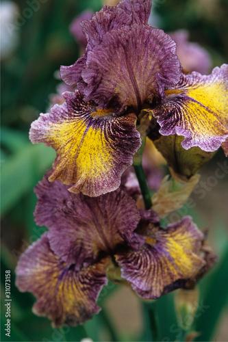 Iris © Photonbleu