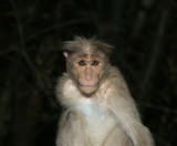 monkey (macaque) in a natural environment, South India, Kerala