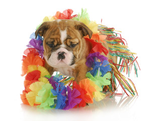 puppy hula dancer