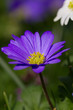 Purple Marguerite