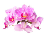 Fototapety orchid on white