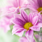 Pink daisy flowers in soft light