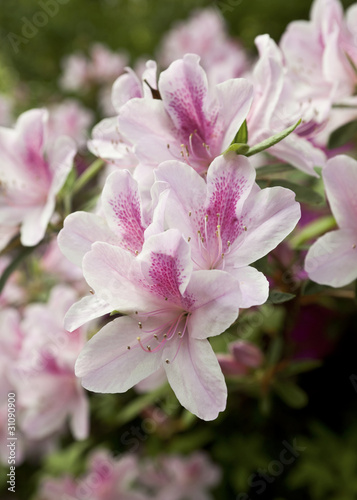 Closeup of Pale Pink Azaleas