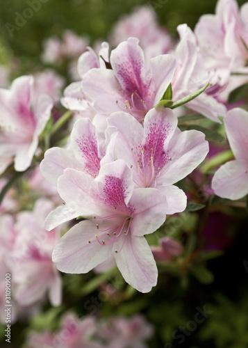 Papiers peints Azalea Closeup of Pale Pink Azaleas