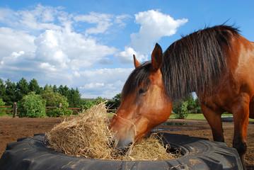 Pferd Heu fressend
