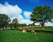 Hereford Bullocks, Ireland