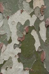 Camouflage pattern like Platanus (sycamore) tree bark