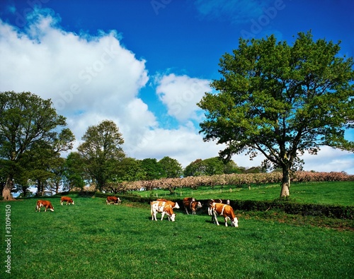 Hereford Bullocks, Ireland