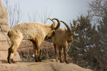 Male mountain goats fighting for dominance