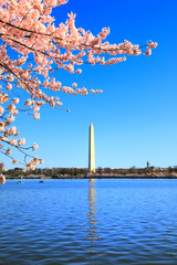 Washington monument in National cherry blossom festival
