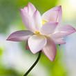 Lotus flower close up on nice background