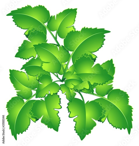 Prezzemolo Foglie-Parsley Leaves-Vector
