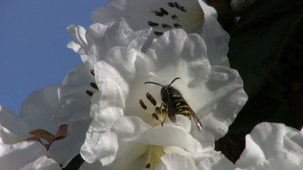 Wasp Taking Off From A Flower