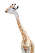 female long neck giraffe isolated on white
