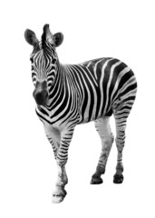 Zoo single  burchell zebra isolated on white background