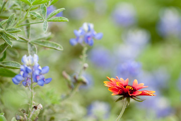 Indian Blanket and Bluebonnet Texas wildflowers