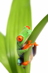frog on a leaf isolated on white