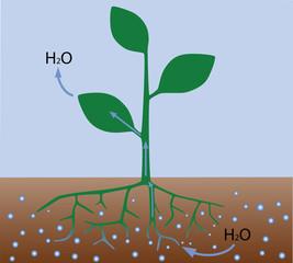 Transpiration in plants (scheme)