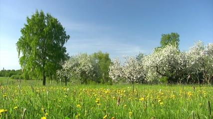Apple spring garden with blue sky