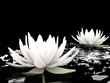 3d lotus on water