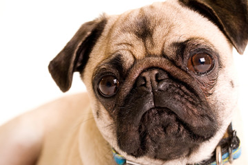 Pug Dog with a flat wrinkled face