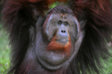 The adult male of the Orangutan.