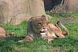 Lioness (P. Leo) licks her lips
