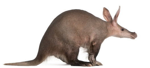 Aardvark, Orycteropus, 16 years old