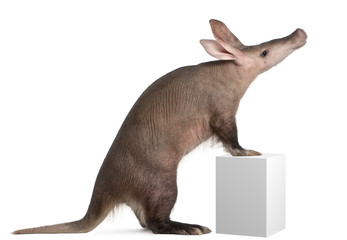 Aardvark, Orycteropus, 16 years old, standing on box