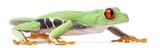 Red-eyed Treefrog, Agalychnis callidryas, walking poster