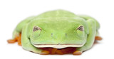 Red-eyed Treefrog, Agalychnis callidryas, with eyes closed poster