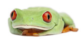 Red-eyed Treefrog, Agalychnis callidryas poster