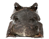 Fototapete Sitzend - Braun - Reptilien / Amphibien