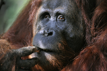 The male of the Orangutan.