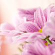 Delicate pink daisies close up