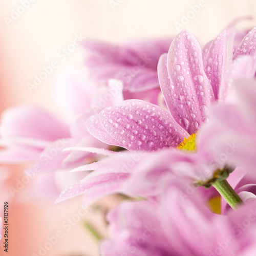 Foto op Canvas Madeliefjes Delicate pink daisies close up