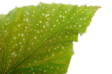 Texture of a wet green leaf as background isolated over white