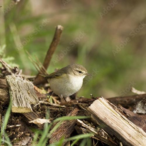 Phylloscopus collybita - Pouillot véloce - Common Chiffchaff