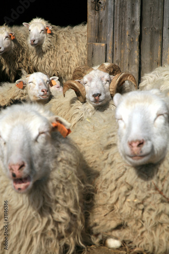 Herd of sheep resting