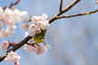 Japanese white-eye on twig of sakura