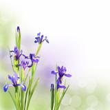 Iris bleus, fond pastel