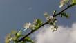 ape sul fiore di pruno