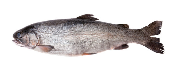 Fresh-water salmon
