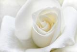 Fototapety Soft white rose