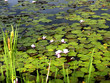 Waterlilies at Dutch Lake, Clearwater, British Columbia, Canada