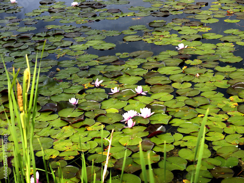 Waterlilies at Dutch Lake, Clearwater, British Columbia, Canada