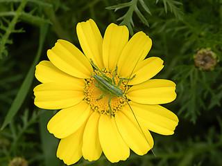 Grasshopper on Golden Marguerite