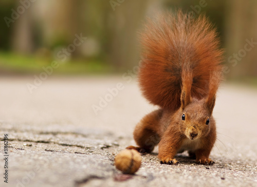 Foto op Plexiglas Ezel Eichhörnchen mit Walnuss - Red squirrel with walnut