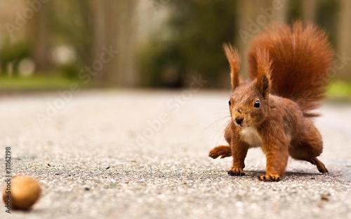 Eichhörnchen mit Walnuss - Red squirrel with walnut