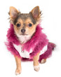 Chihuahua dressed with white coat with pink fur looking up